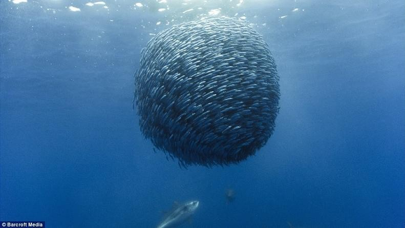 ball-of-fish-horse-mackerel