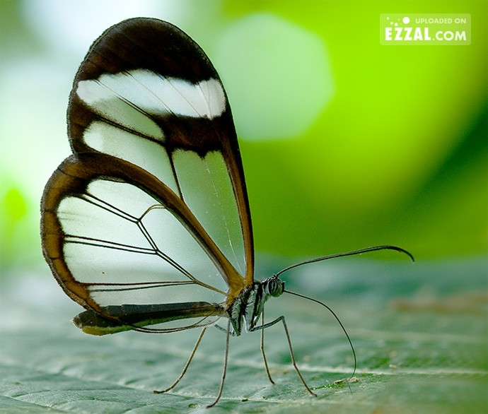 glass-wing