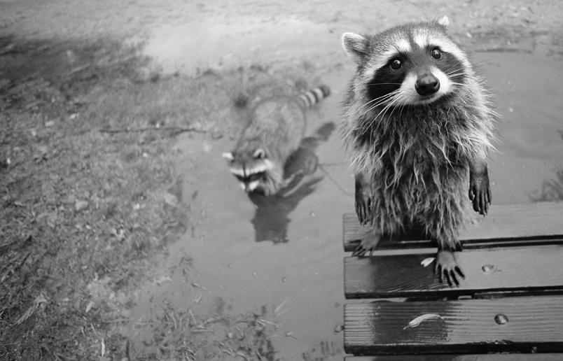 racoon-staring-at-camera