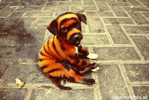 tiger-puppy
