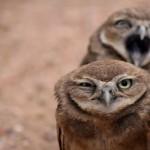 21x sova festvýrazná: oči až v žalúdku