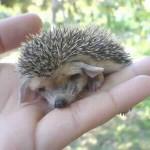 Malý ježko s veľkými ušami :)