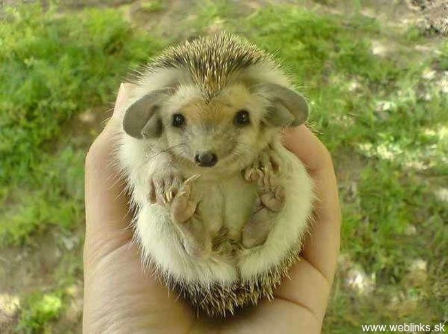 hedgehog_with_big_ears_2