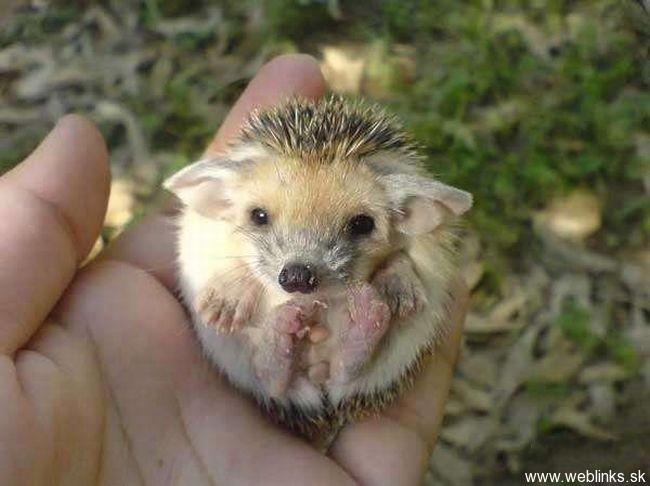 hedgehog_with_big_ears_4