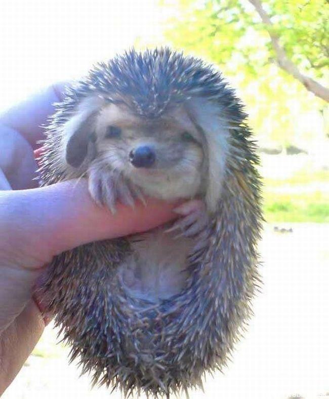 hedgehog_with_big_ears_6
