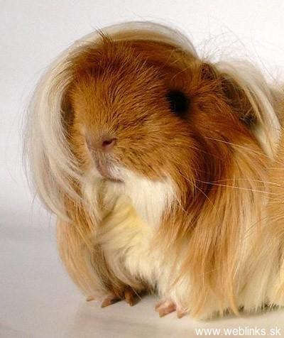 emo-guinea-pig