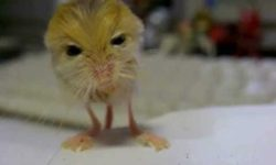 Klokan krížený s myšou