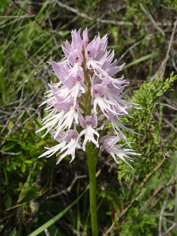 Orchis_italica_a