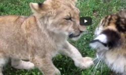 Baby levíča a baby tigríča