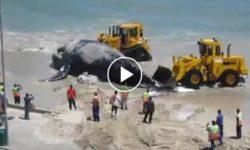 Odpratávanie mŕtvej veľryby nakladačmi