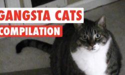 Gangsta mačky