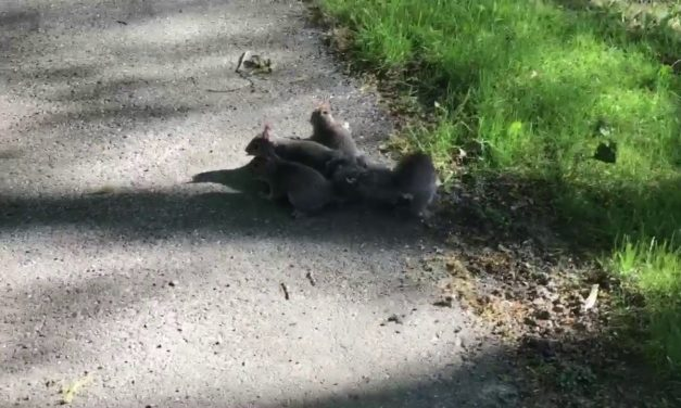 4 chvostami zmotané veveričky. WTF?